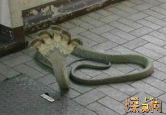 Five headed king cobra