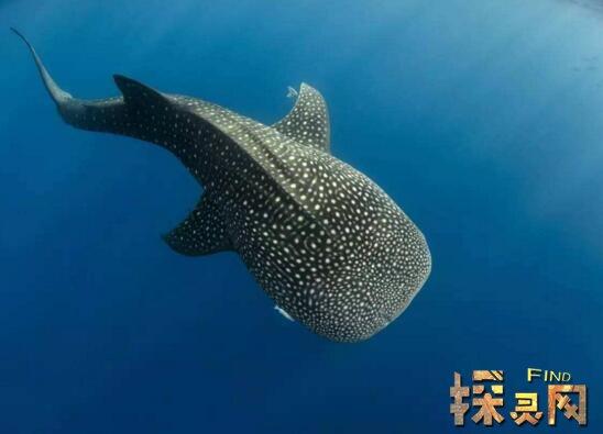 最大的嘴成�_世界上最大的鱼,鲸鲨身体长度达到20米(没有天敌)—探灵网