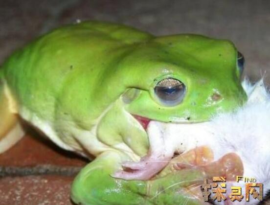 响尾蛇的尾巴有毒吗_食蛇蛙,最喜欢吃毒性较强响尾蛇 — 探灵网